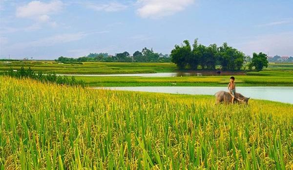 Tả cánh đồng lúa quê em