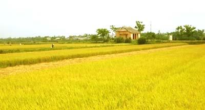 ta canh dong lua chin 231 Miêu tả cánh đồng lúa chín buổi sáng mai