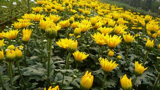152551 cuc Tả hoa cúc lớp 2, bài văn mẫu miêu tả hoa cúc