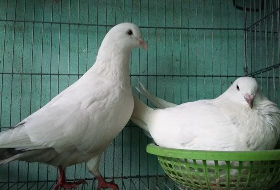 28513561 4eba84c08479451ba20167df750d8c20 - Tả con chim lớp 2, đoạn văn miêu tả con chim bồ câu