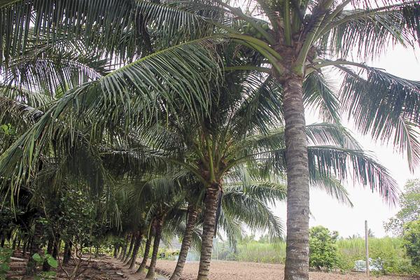 Dua duoc phat trien 1 - Tả cây dừa, bài văn miêu tả cây dừa ở quê em, nhà em