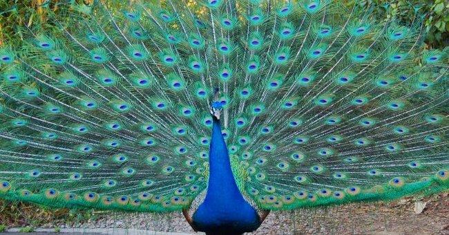 chim cong 650 Tả con công lớp 2