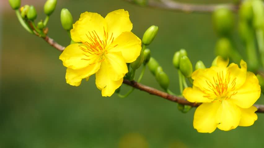 hinh anh mot canh hoa mai dep 053815020 Tả hoa mai, hoa đào lớp 2, bài văn tả hoa mai đào ngày tết Nguyên Đán