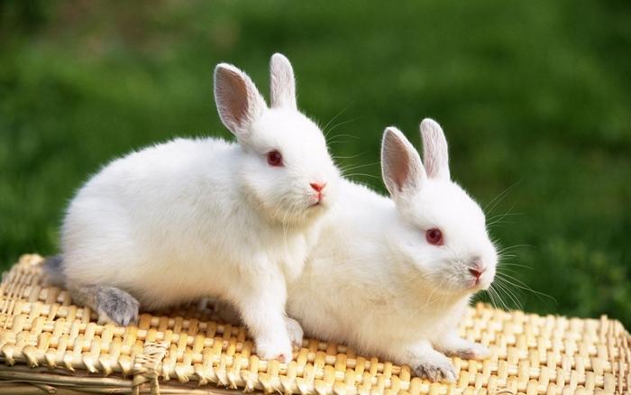 hinh nen nhung chu tho con vo cung dang yeu va ngo nghinh ma ban se thich ngay 9 Tả con thỏ lớp 2, miêu tả con thỏ nuôi trong nhà em trong vườn thú