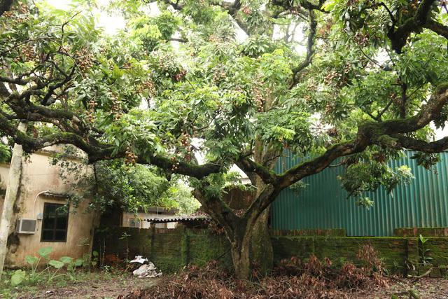 nhan to 2 Tả một loài cây mà em yêu thích lớp 2, bài văn tả cây nhãn, cây nho