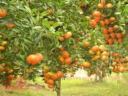 Tả cây ăn quả lớp 2, bài văn tả cây cam cây ổi ngắn gọn